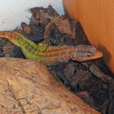 Emperor Flat Rock Lizard (Platysaurus imperator)