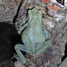 Tree Toad (Pedostibes hosii)