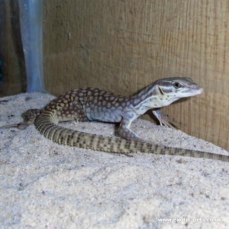 Ridge Tailed Monitor