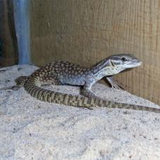 Ridge Tailed Monitor