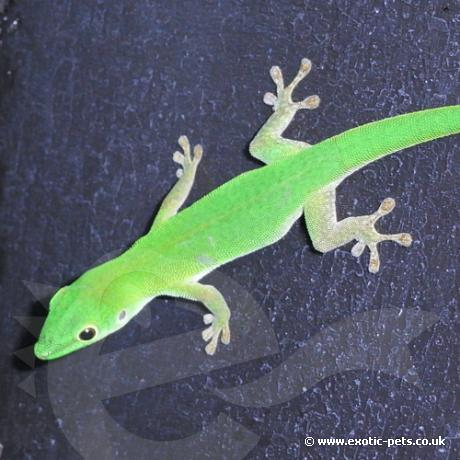 Parkers Day Gecko
