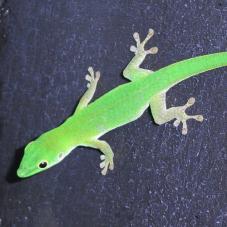 Parkers Day Gecko (Phelsuma parkeri)