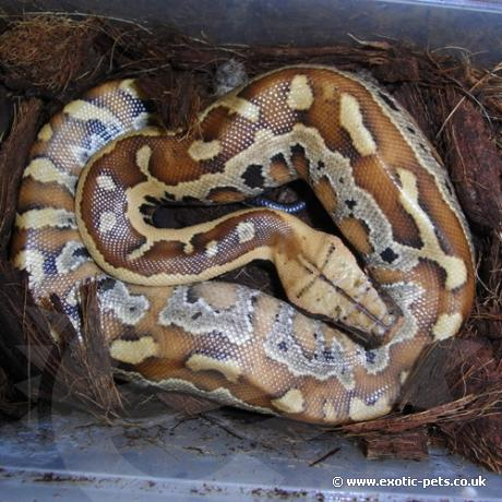 Red Blood Python Full View Red Blood Python