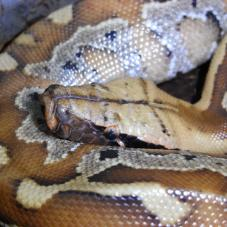 Red Blood Python (Python curtus brongersmai)