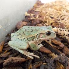 Andean Marsupial Tree Frog