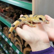 Peters Banded Skink (Scincopus fasciatus)