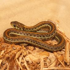 Atotonilco Garter Snake (Thamnophis eques diluvialis)