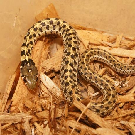 Chequered Garter Snake