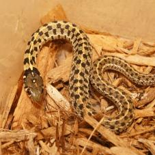 Chequered Garter Snake (Thamnophis marcianus)