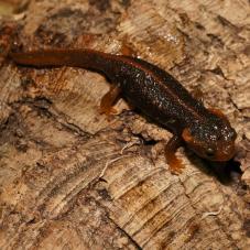 Crocodile Newt (Tylototriton verrucosus)