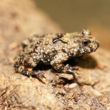 Yellow Bellied Toad (Bombina variegata)