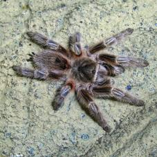 Chile Red Zebra Tarantula (Grammostola sp. Concepicon)
