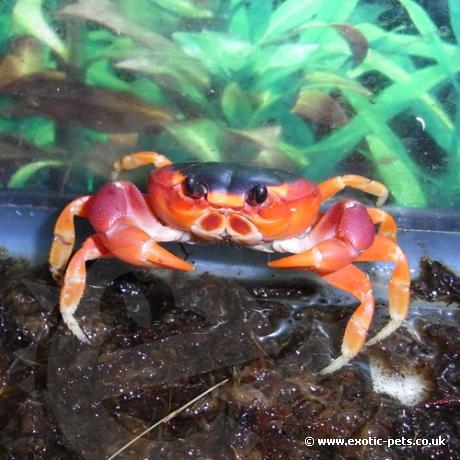 Bermuda Land Crab
