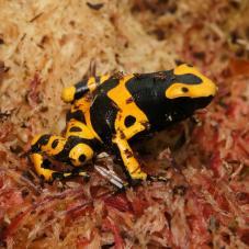 Bumblebee Dart Frog (Dendrobates leucomelas)