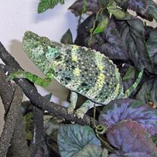 Mellers Chameleon (Chamaeleo melleri)
