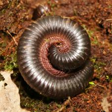 Cameroon Giant Black Millipede (Mardonius parilis acuticonus)