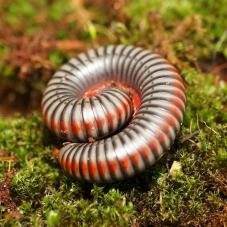 Rainbow Millipede