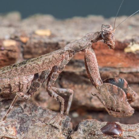 East African Boxer Mantis