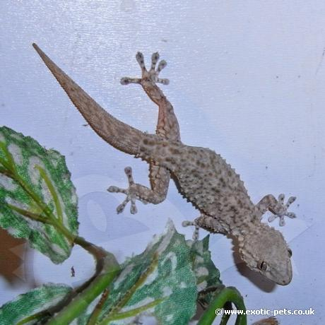 Moorish Gecko