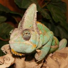 Yemen Chameleon (Chamaeleo calyptratus)