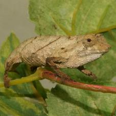 Spectral Pygmy Chameleon (Rhampholeon spectrum)