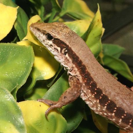 Lizards for sale, buy Lizards online at Exotic Pets UK