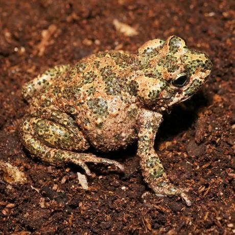 Moroccan Green Toad