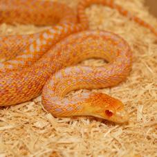 Gopher Snake (Pituophis catenifer)