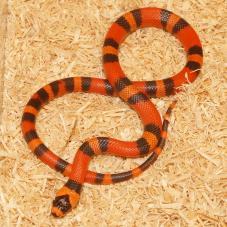 Honduran Milk Snake (Lampropeltis triangulum hondurensis)