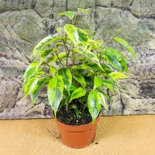 ProRep Live Plant - Weeping Fig