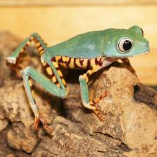 Tiger-legged Monkey Tree Frog (Phyllomedusa tomopterna)