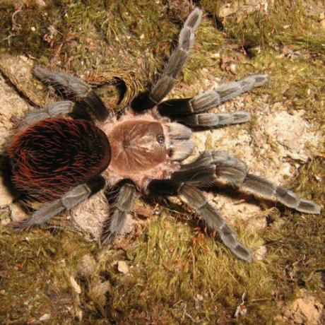 New Mexican Tarantula