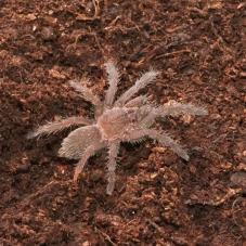 Khiri Khan Earth Tiger (Chilobrachys sp.