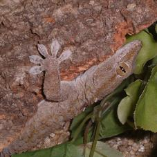 White Spotted Gecko