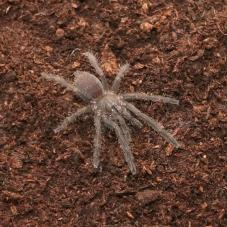 Vietnamese Blue (Chilobrachys sp.