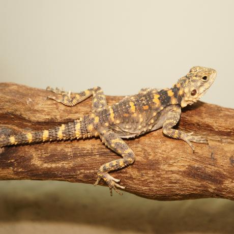 Orange Spotted Agama