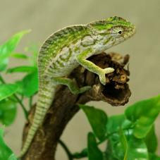 Carpet Chameleon (Furcifer lateralis)