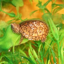 Loggerhead Musk Turtle (Sternotherus minor minor)