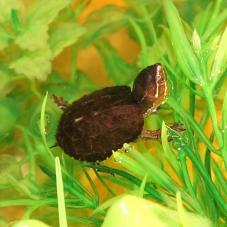 Common Musk Turtle (Sternoptherus ororatus)