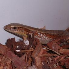 Asian Sun Skink (Mabuya multifasciata)