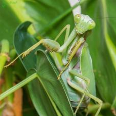 Giant Shield Mantis (Rhombodera megaera)