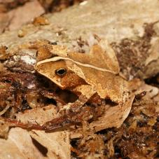 Crested Toad (Rhinella martyi)