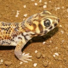 Frog Eyed Gecko (Teratoscincus scincus)