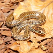 Lake Chapala Mexican Gartersnake (Thamnophis eques obscurus)