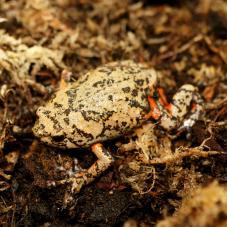 Flower Pot Toad (Kaloula baleata)