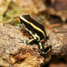 Yellow Striped Poison Dart Frog