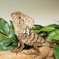 Helmeted Iguana (Corytophanes cristata)