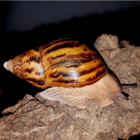 Giant Tiger Snails