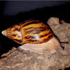 Giant Tiger Snails (Achatina achatina)