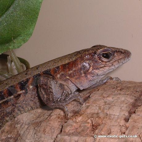 Whip Tailed Lizard
